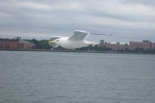Gull, NY Harbor