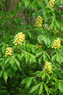 Horse chestnut (buckeye) in bloom