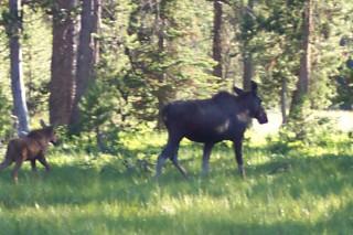 Mama Moose and Calf, YNP