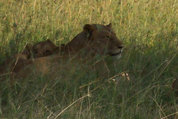 Lions, Mikumi NP