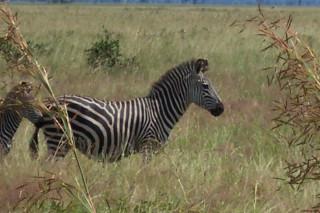 Zebra, Mikumi NP