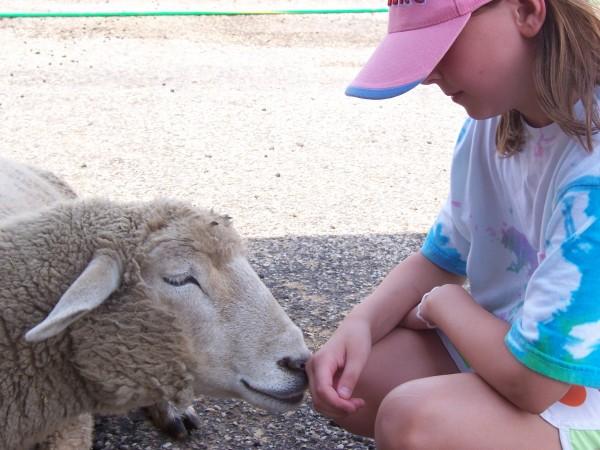 lambs 012