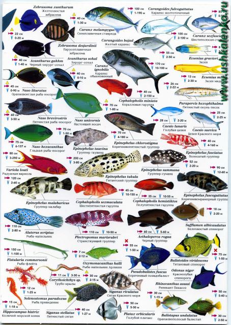 как называется рыба красного цвета