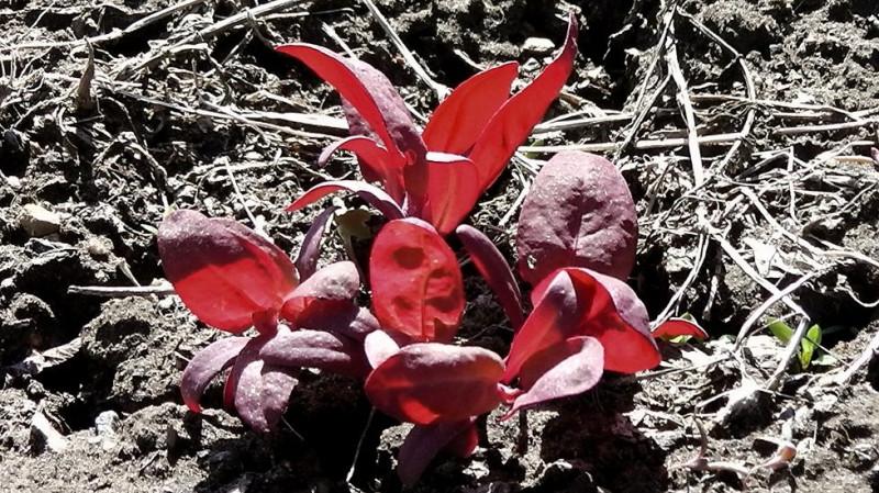 Это декоративный амарант для цветоводства, но свойства у него такие же, как и у обычного! Этот лишь красивее смотрится.