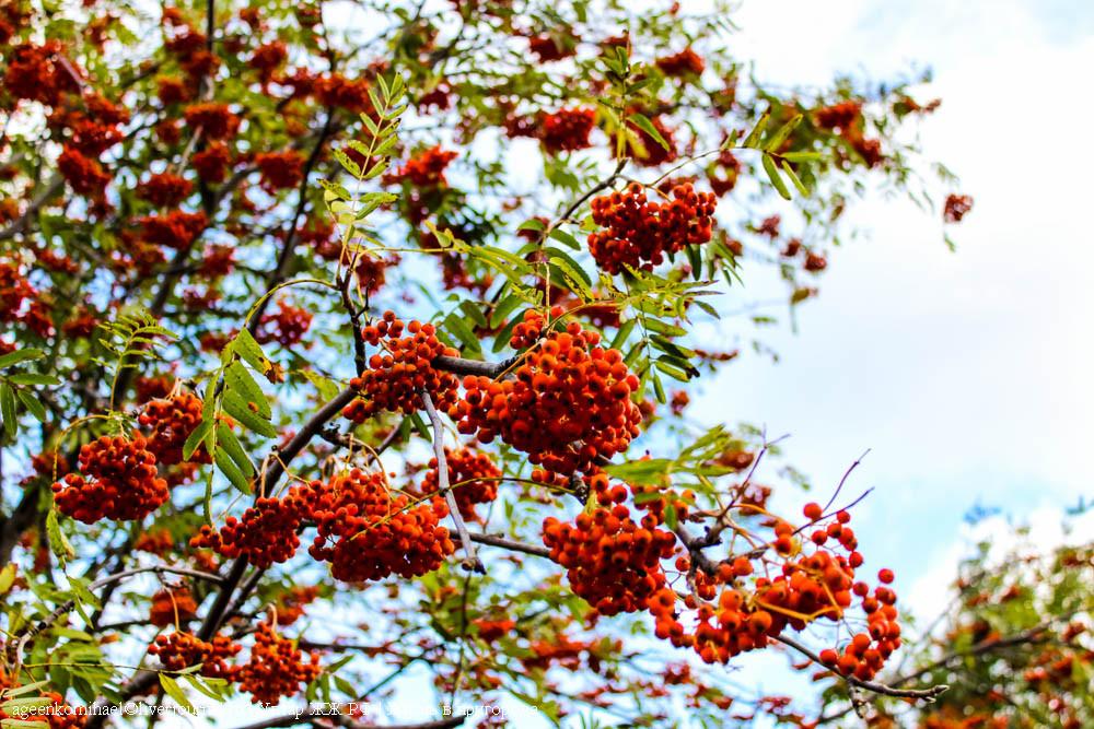 грозди рябины-2