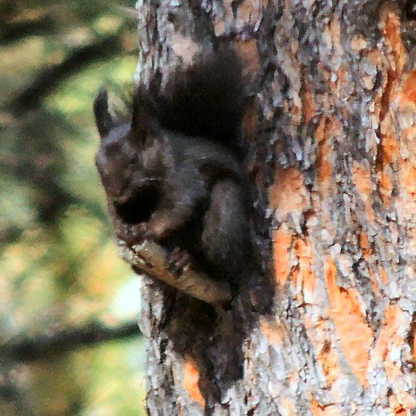 AbertsSquirrel0674.JPG