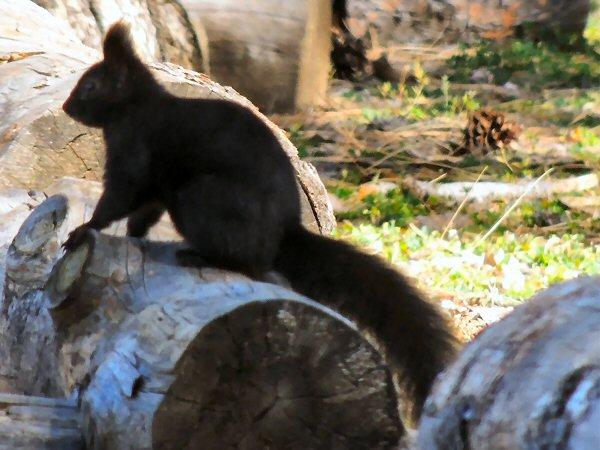 AbertsSquirrel0690.JPG