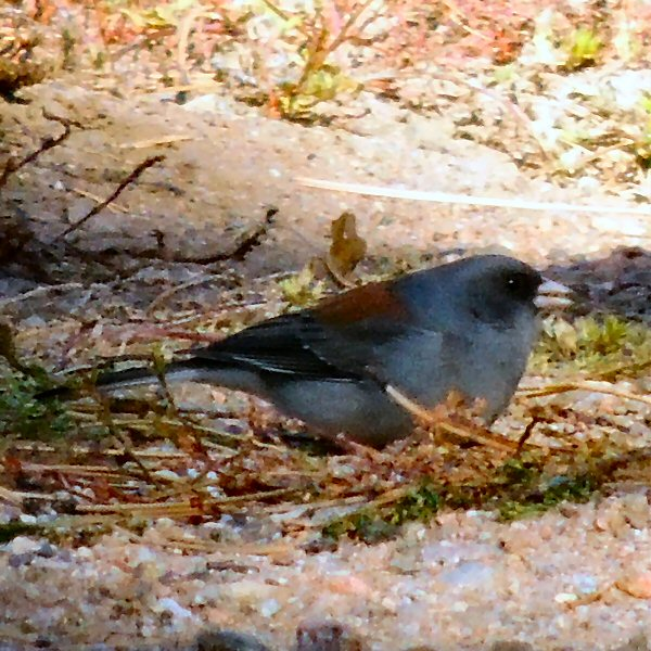 DarkHeadedJunco0710.JPG