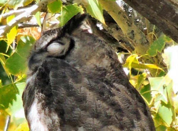 GreatHorned Owl0612.JPG