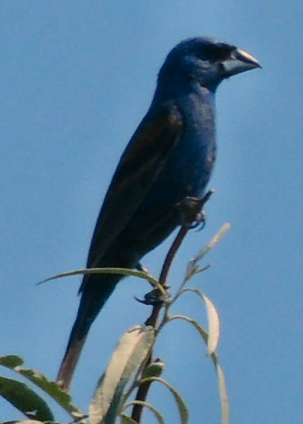 BlueGrosbeak7642.JPG