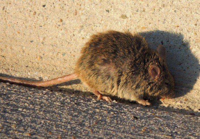 Mouse2768.JPG