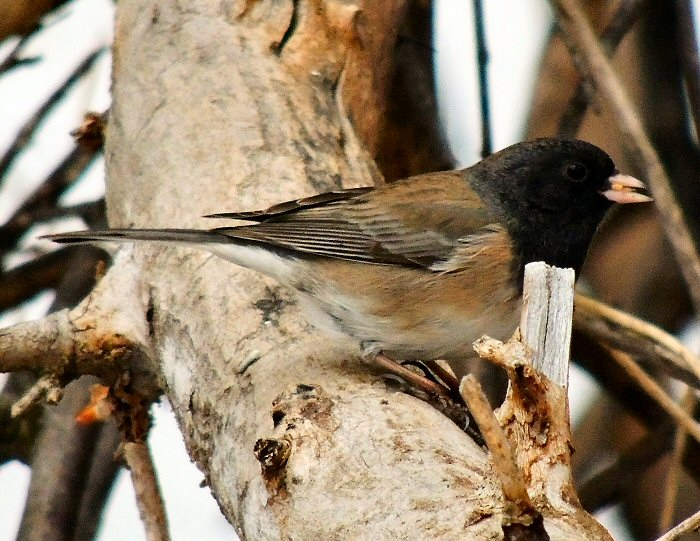 OregonJunco3251.JPG