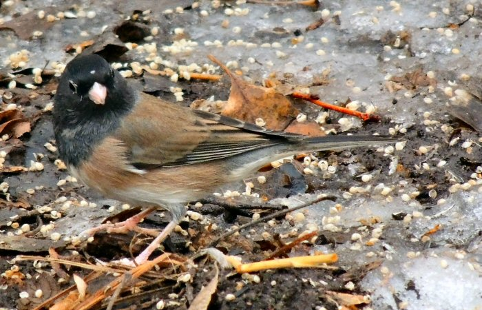 OregonJunco3295.JPG