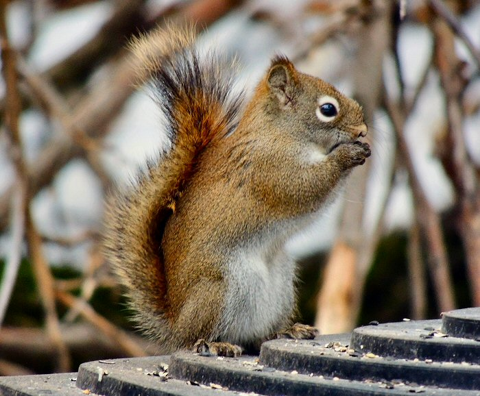 Squirrel3237.JPG