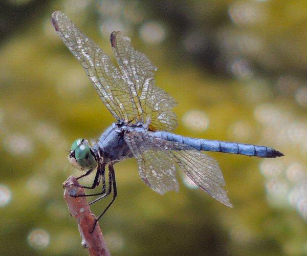 Dragonfly7627y.JPG
