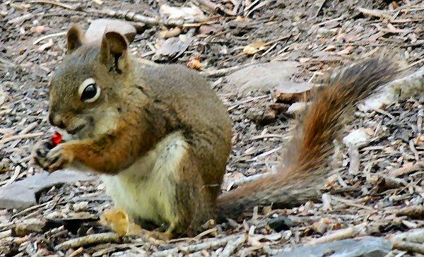 RedSquirrel7736.JPG
