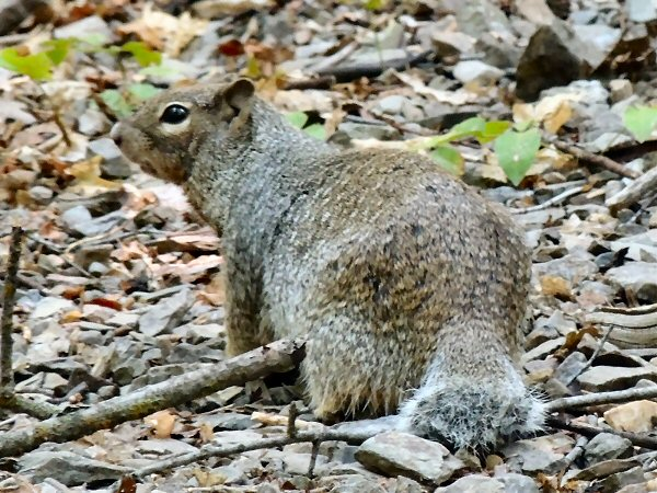 RockSquirrel7666.JPG