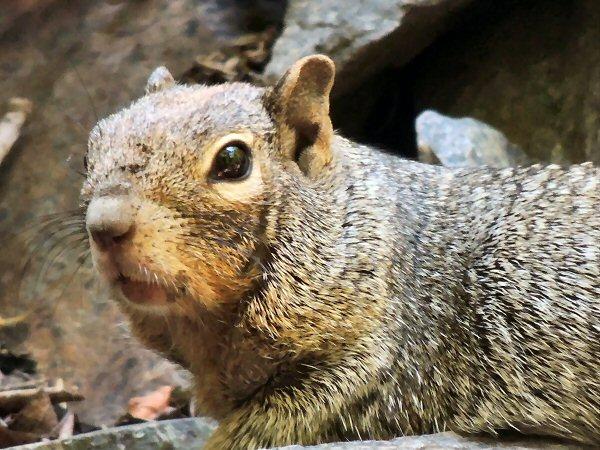 RockSquirrel7671.JPG