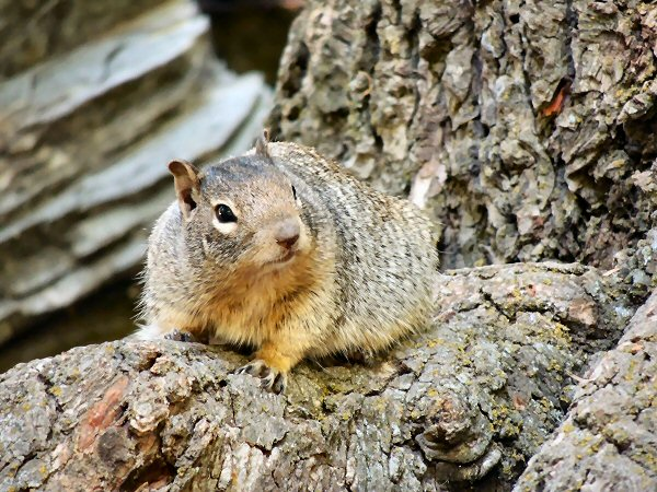 RockSquirrel7678.JPG