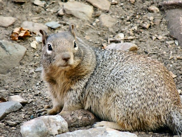 RockSquirrel7692.JPG