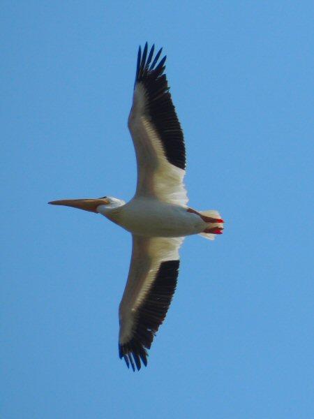 White Pelican7638.JPG