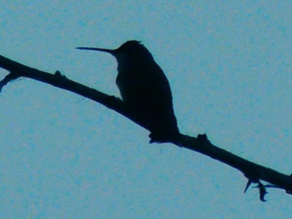 Hummingbird9609.JPG