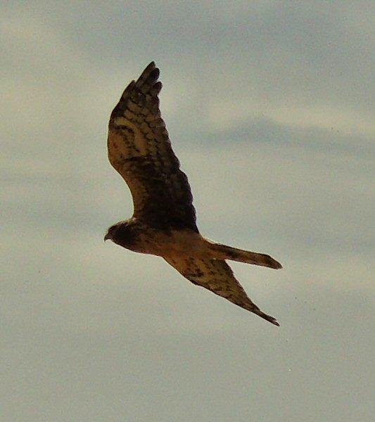 Hawk9780.JPG