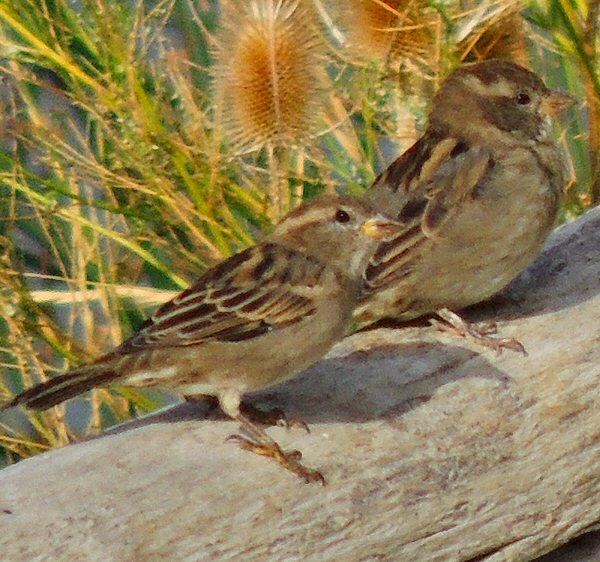 Sparrow9811.JPG