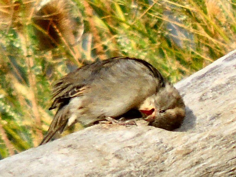 Sparrow9817.JPG