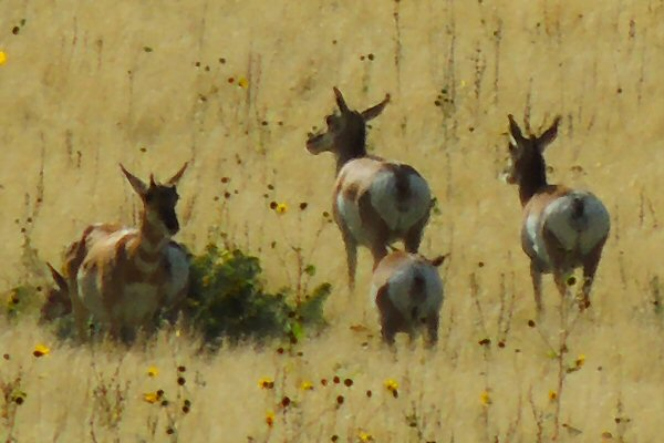 Pronghorns0088.JPG