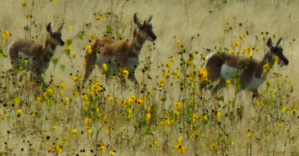 Pronghorns0092.JPG