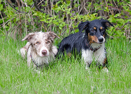 Border Collies After Swimming