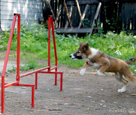 Border Collie Jumping Over Things