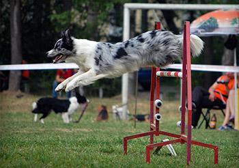 Border Collie Agility Course Event Photos: agilitydogtrain ...