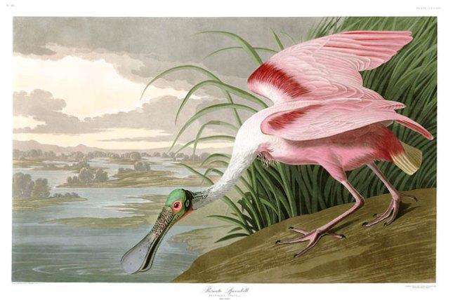 5 Джон Джеймс Одибон Птицы Америки