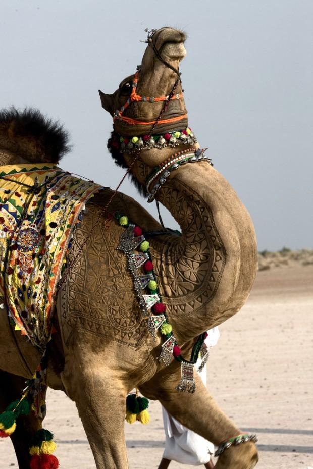 Верблюжий боди арт