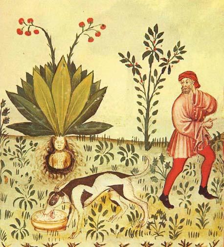 5 mandragora_tacuinum_sanitatis1