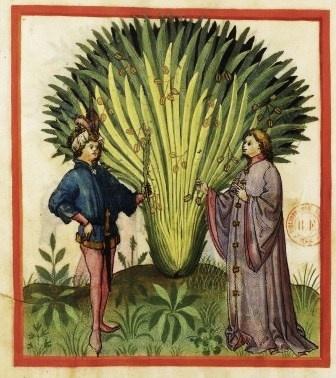 5 Финиковая пальма