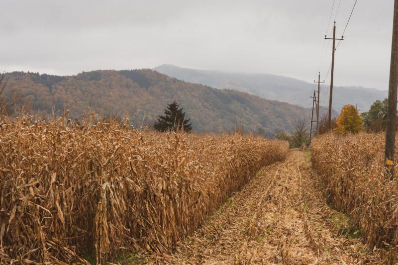 Субботний сбор кукурузы