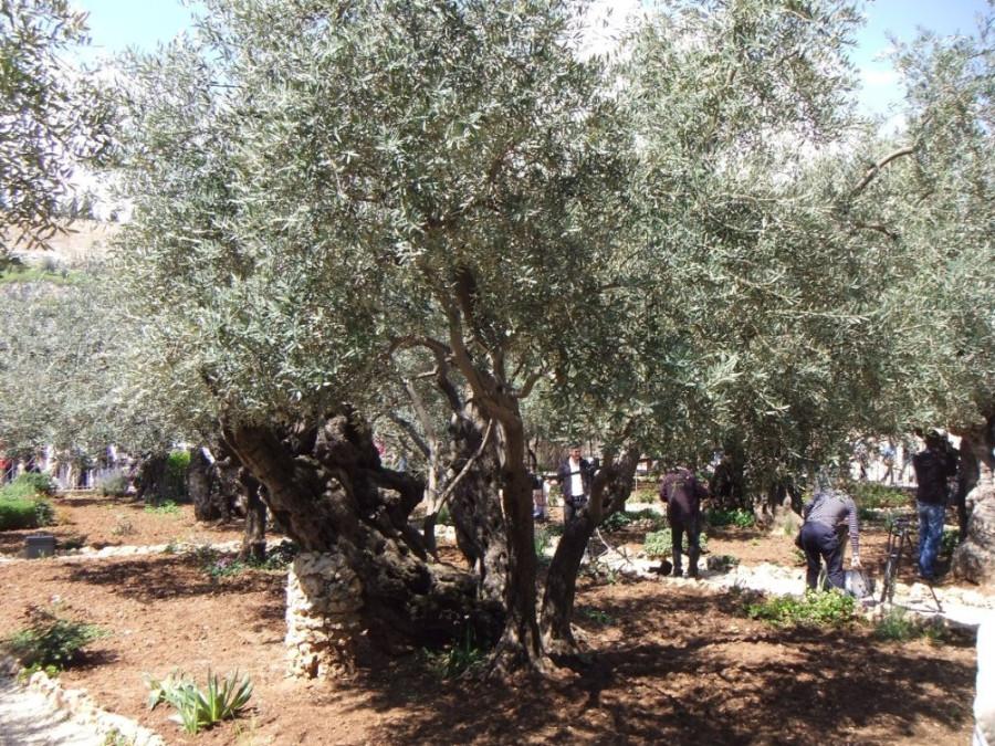 5 IMG_6842м Гефсиманский сад