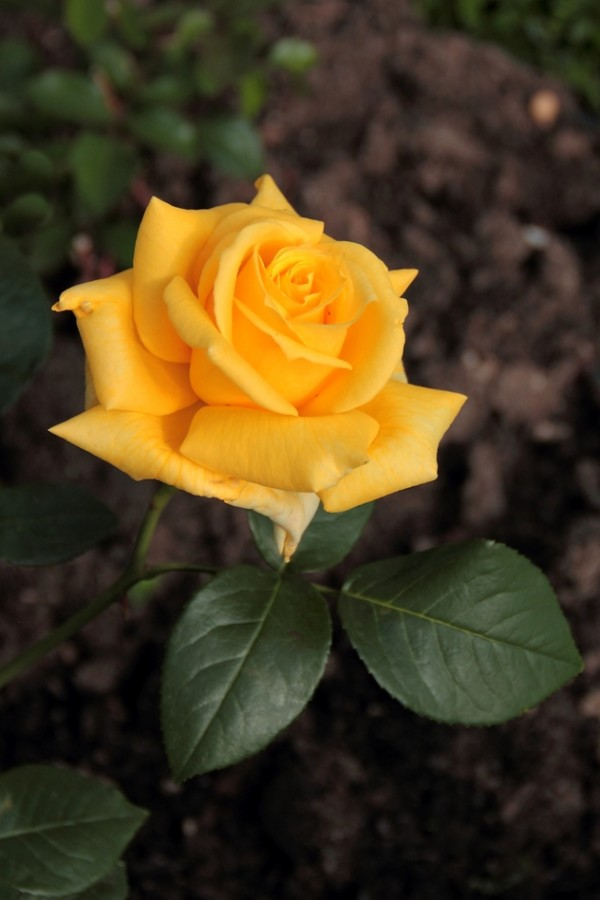 14 л Роза. DPP_96821059