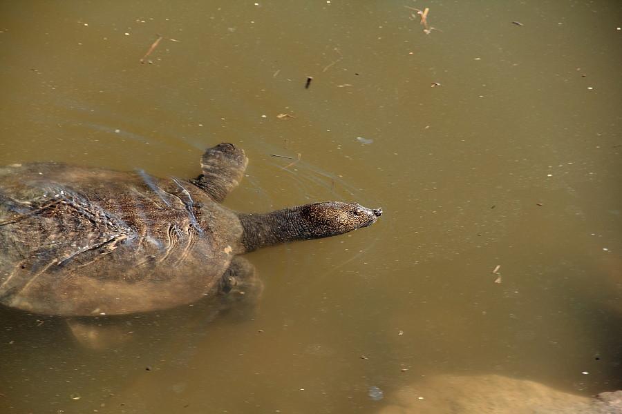 14 Мягкотела черепаха