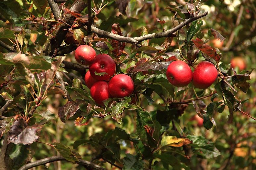 20 Вкуснейшими яблоками знаменит Тироль IMG_6901m