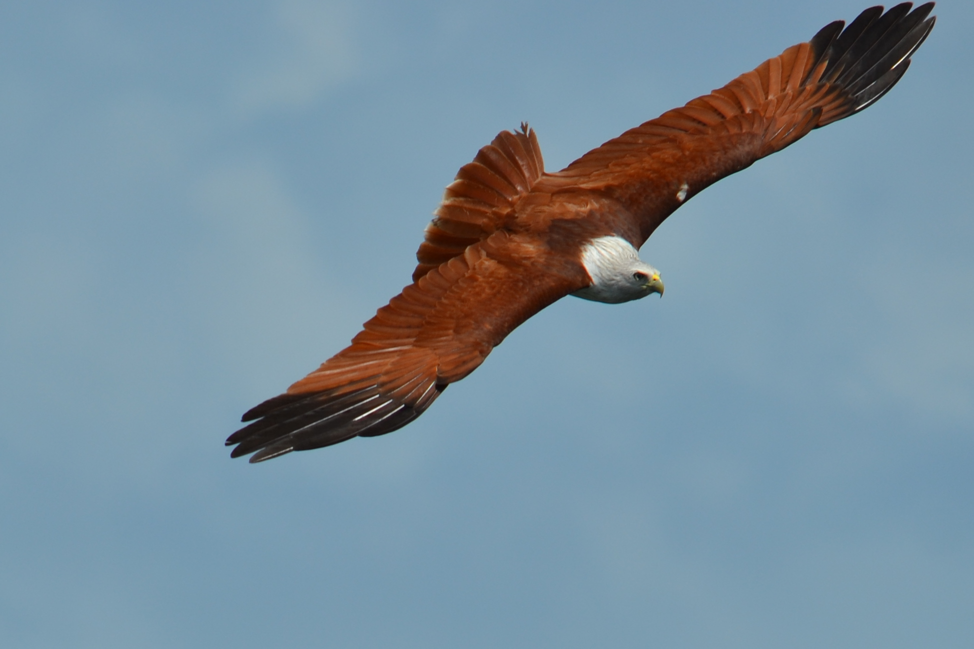 sea_eagle_hi_cropped
