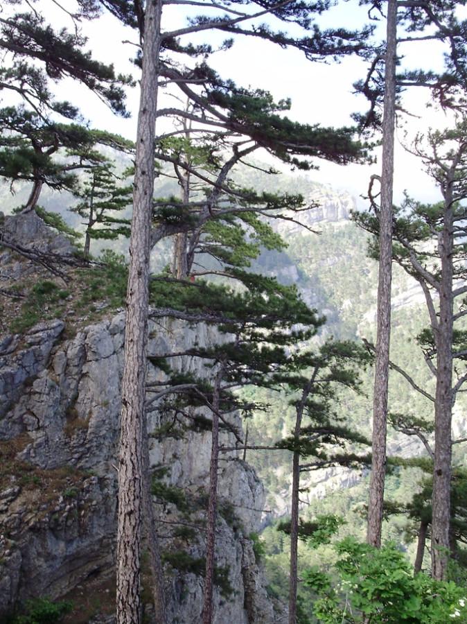 Вертикали стволов на скалах