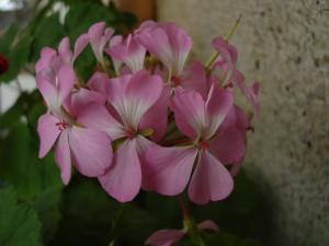 бело-розовая с узкими лепестками