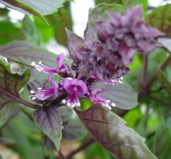 цветок базилика