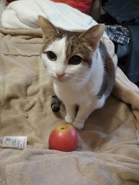 кошка и яблоко2