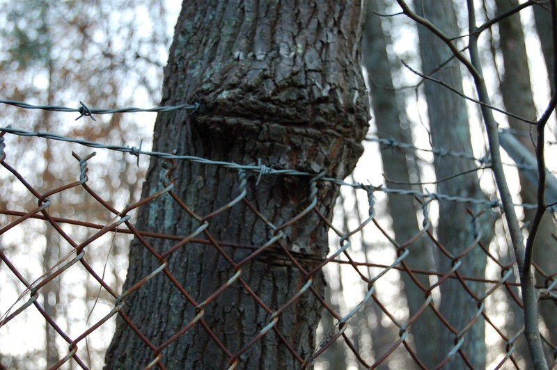 photo of tree growing around chain link fence