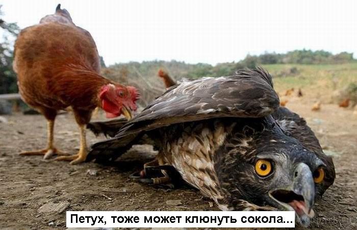 Когда и петух... орёл